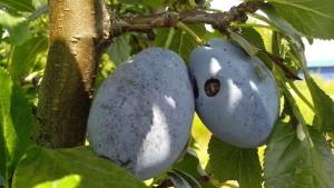 organique, les prunes bleues, verger