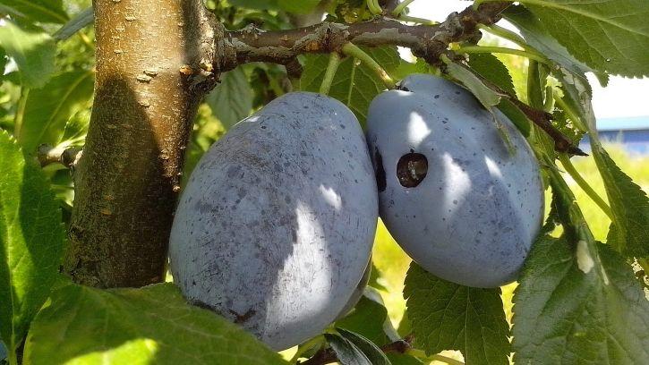 organic, blue, plums, orchard