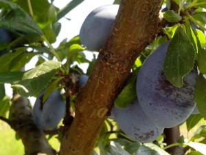 유기, 과일 나무