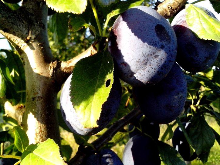 organic, plum, fruit, tree