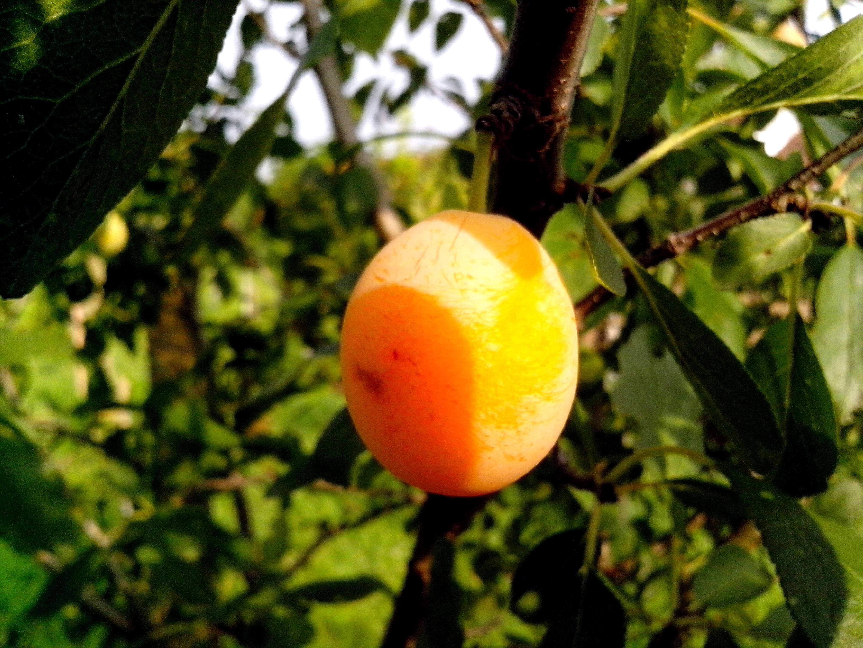 Free photograph; organic, plum, tree