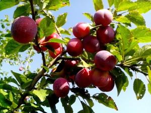 organic, red, plum, fruit
