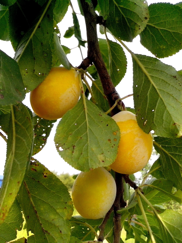 Free photograph; organic, yellow, plums