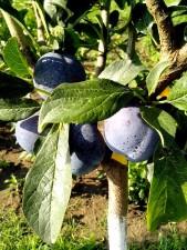 plums, leaves