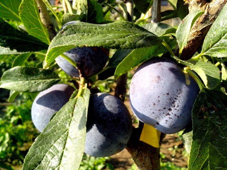 plums, fruit, tree