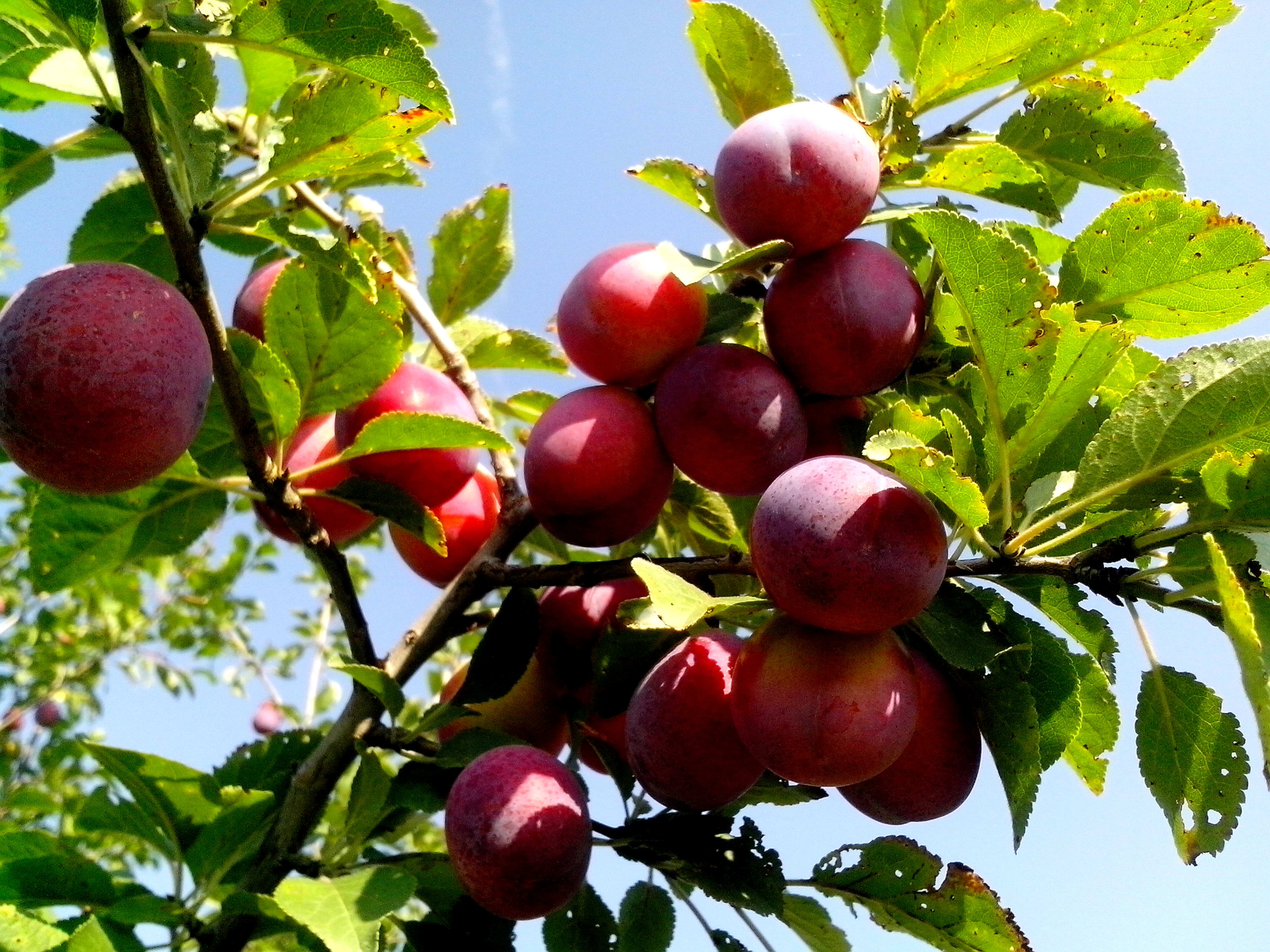 Free photograph; red, wild, plums, organic