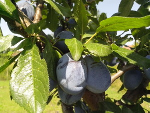 two, immature, fruits, organically grown, blue plums