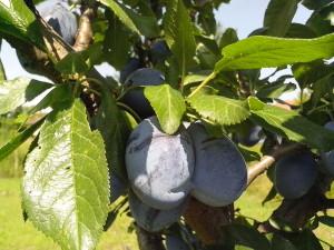 dva, nezrelé, plody, organicky pestované, modré slivky