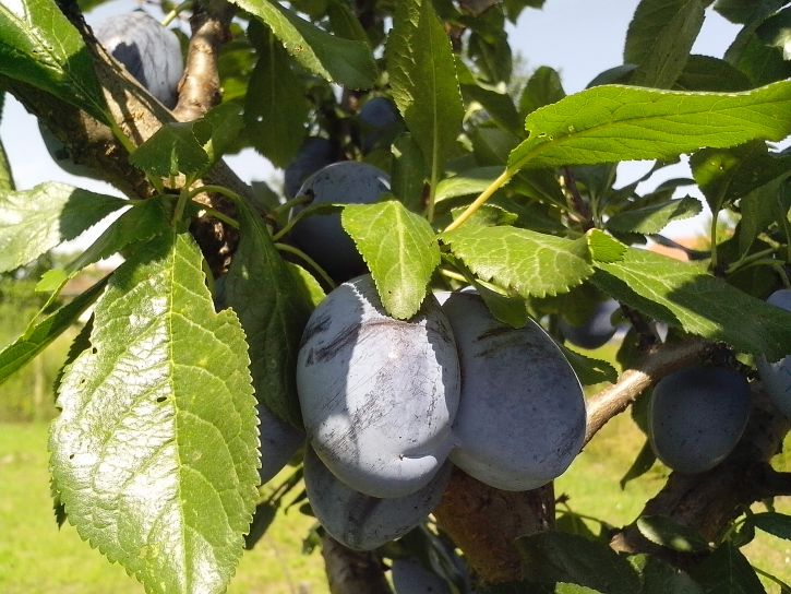 two, immature, fruits, organically, grown, blue, plums