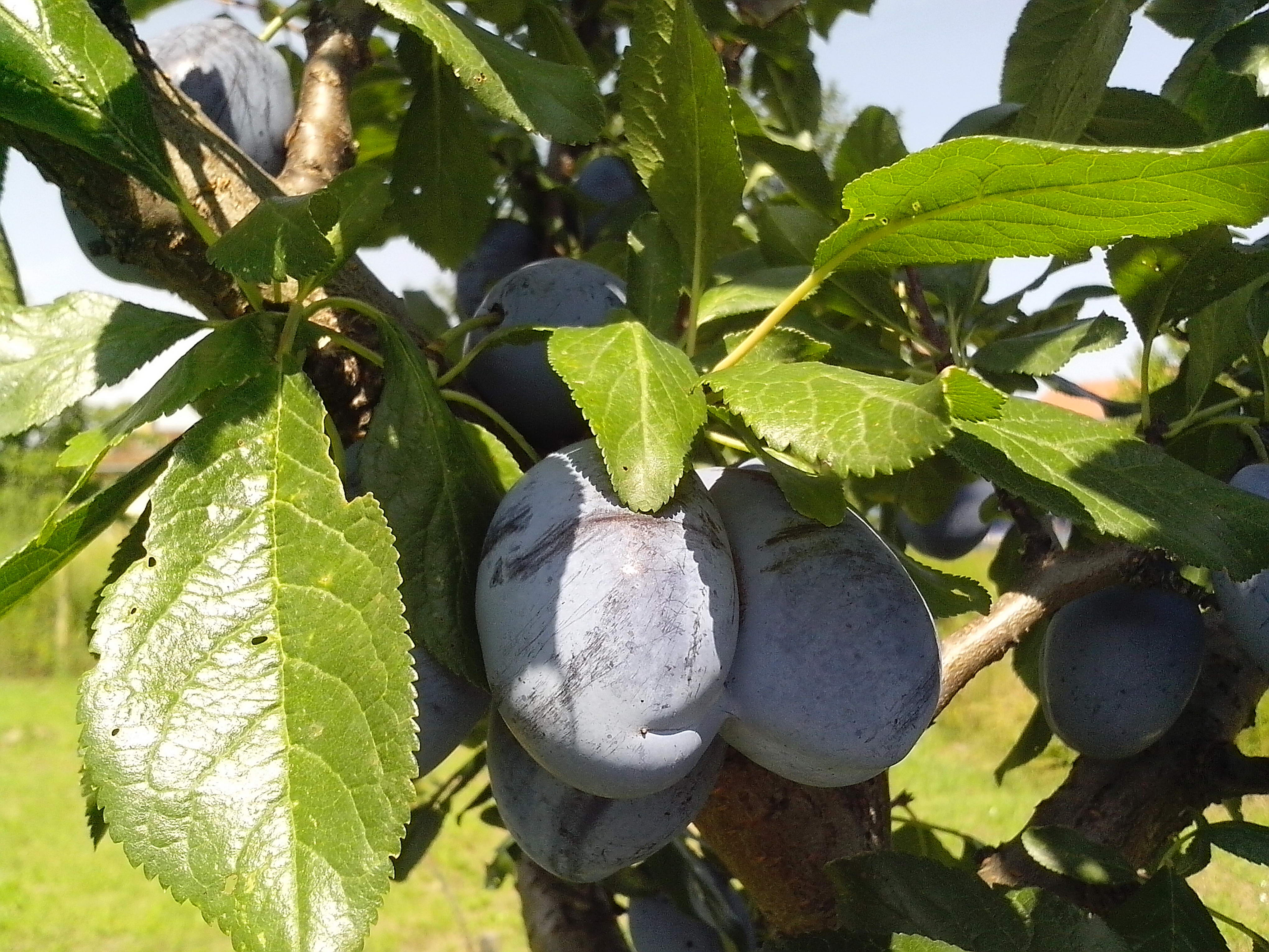 Free photograph; two, immature, fruits, organically, grown, blue, plums