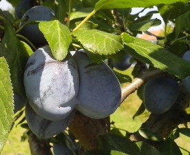 two, organically grown, blue plums, tree