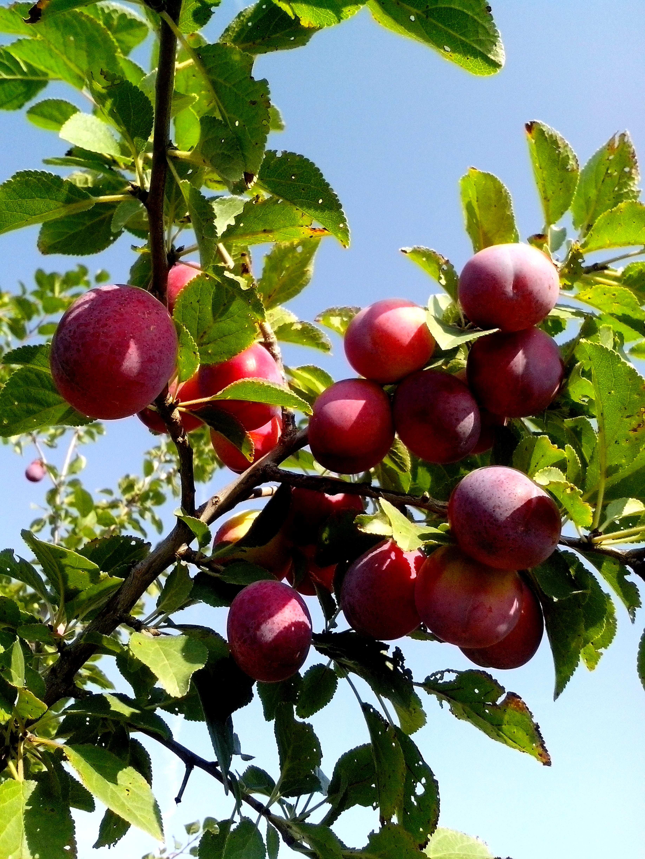 Free photograph; wild, plum, fruit, tree