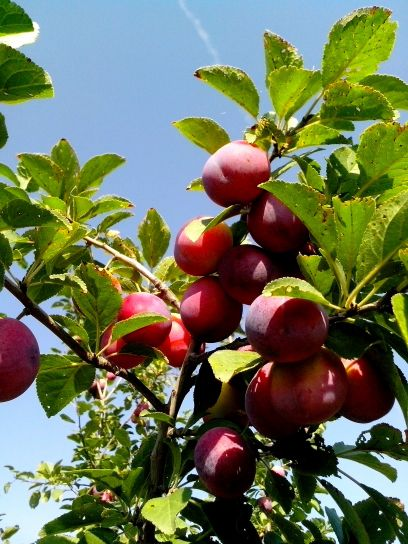 wild, plums