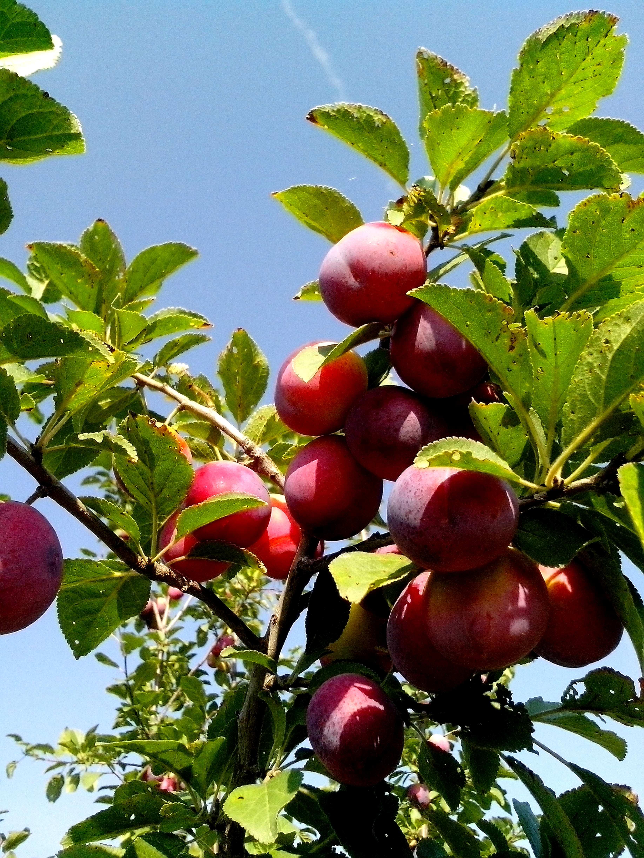 Free photograph; wild, plums