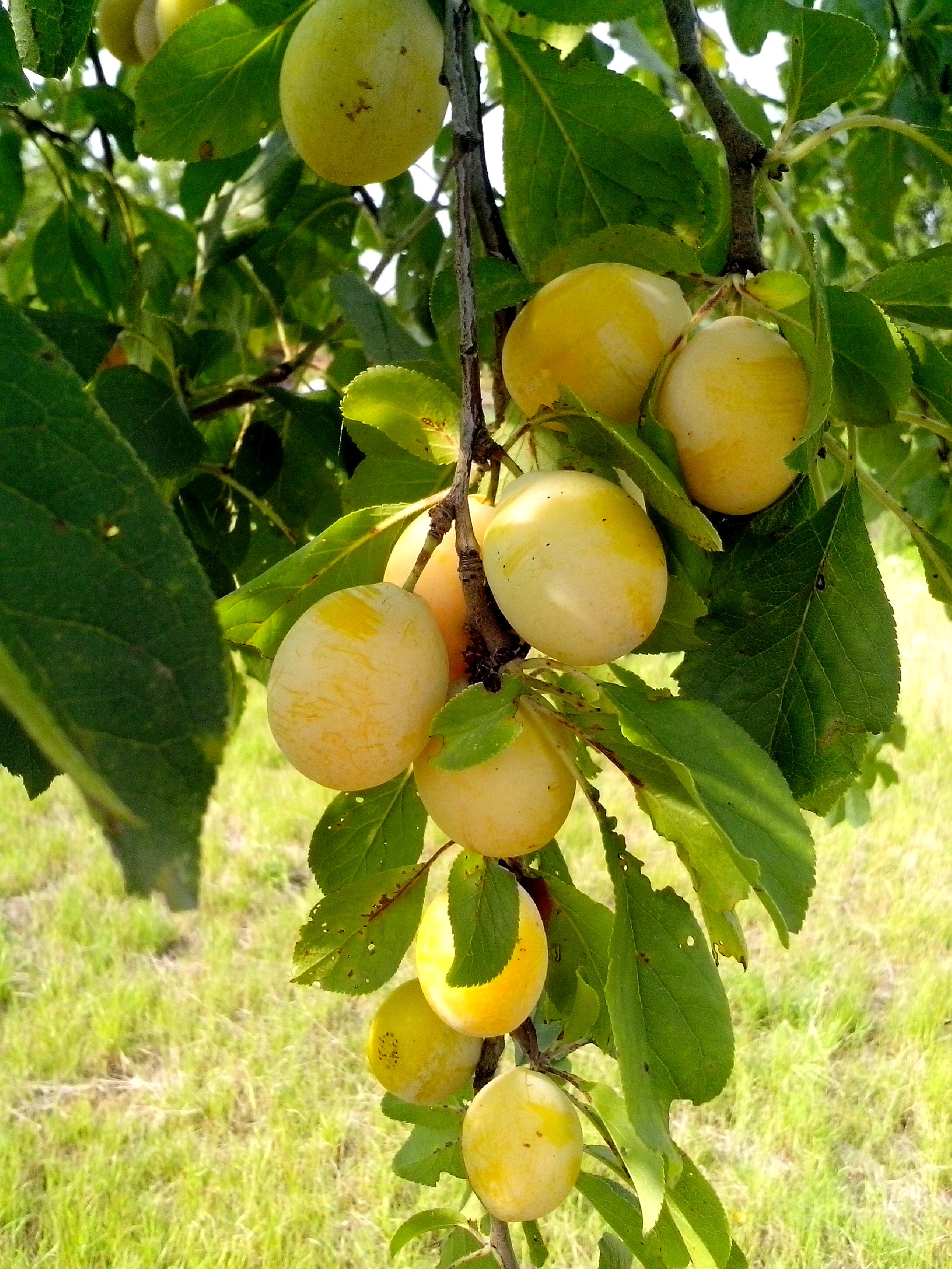 Free photograph; yellow, plums, tree