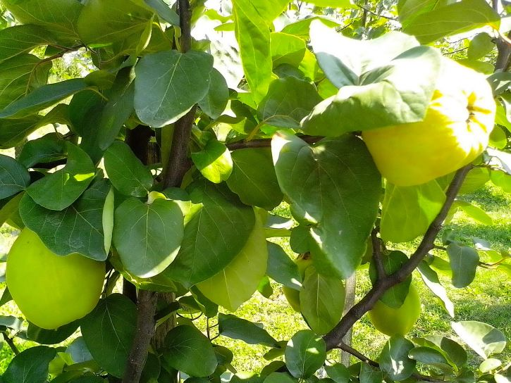 immature, fruits, organically, grown, quince, fruit, orchard
