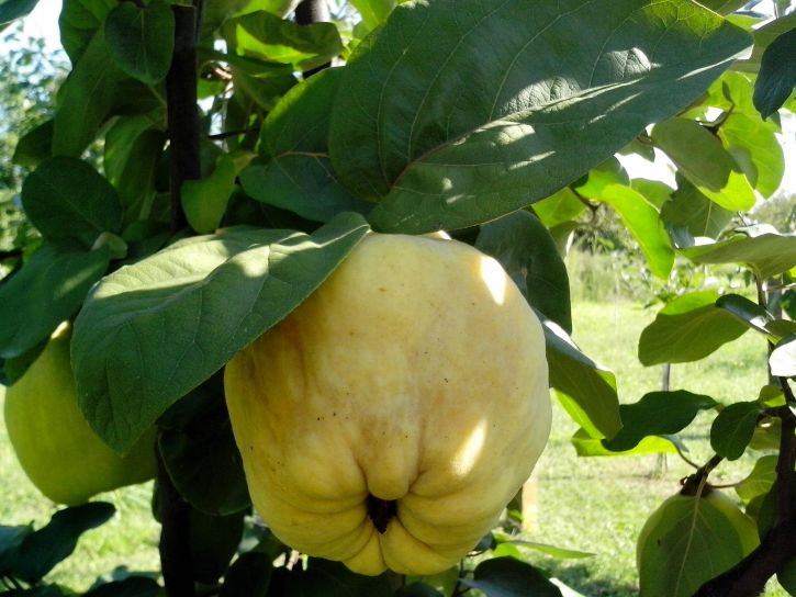 large, yellow, fruit, quince