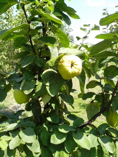 organic, quince, fruits