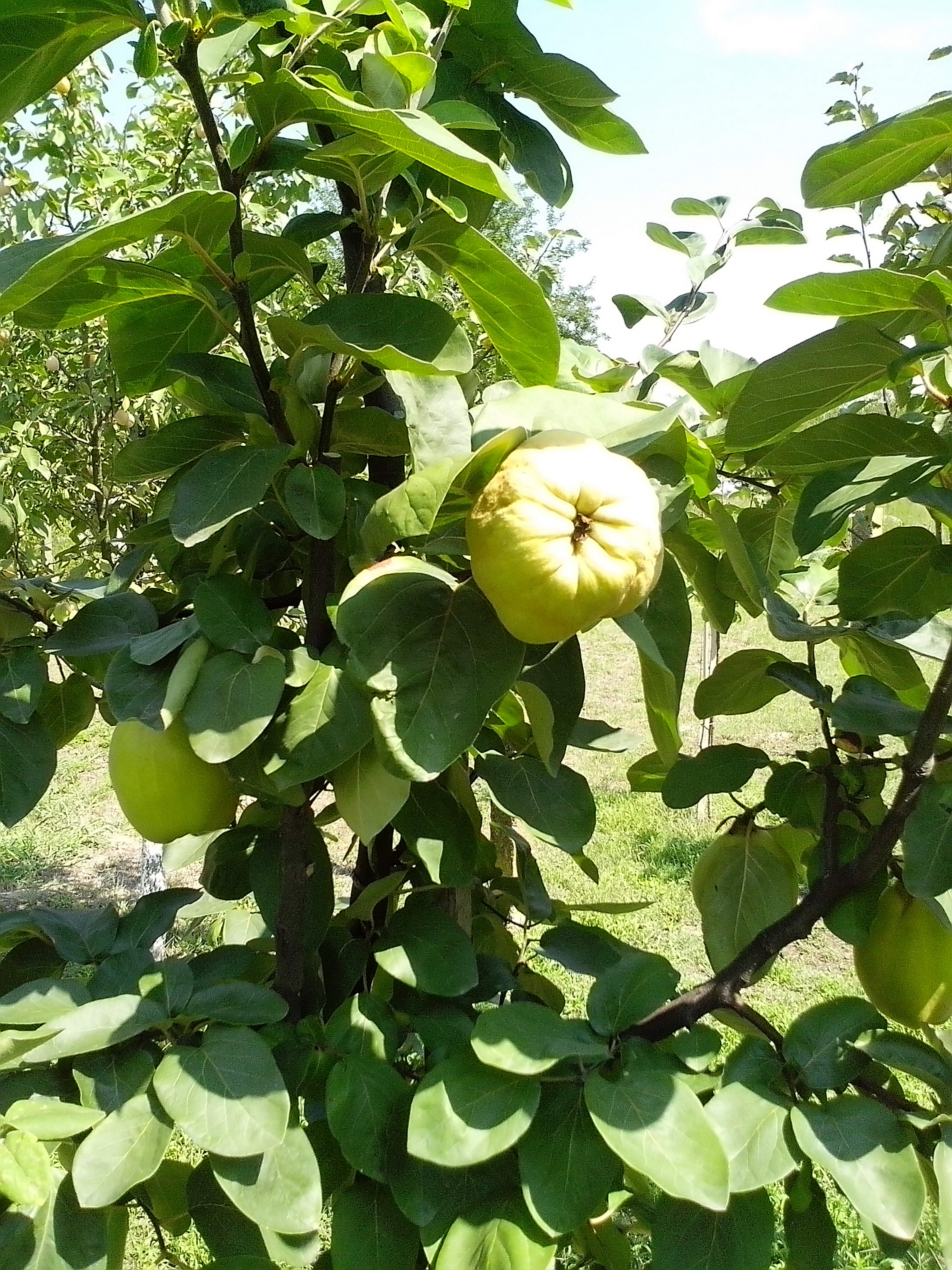 Free photograph; organic, quince, fruits