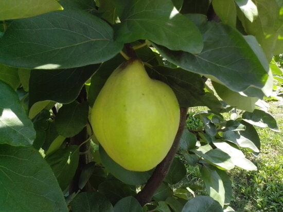 organically grown, immature, quince, fruit, green leaves, tree