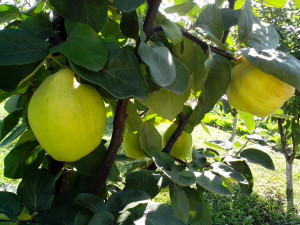two, large, quinces, tree