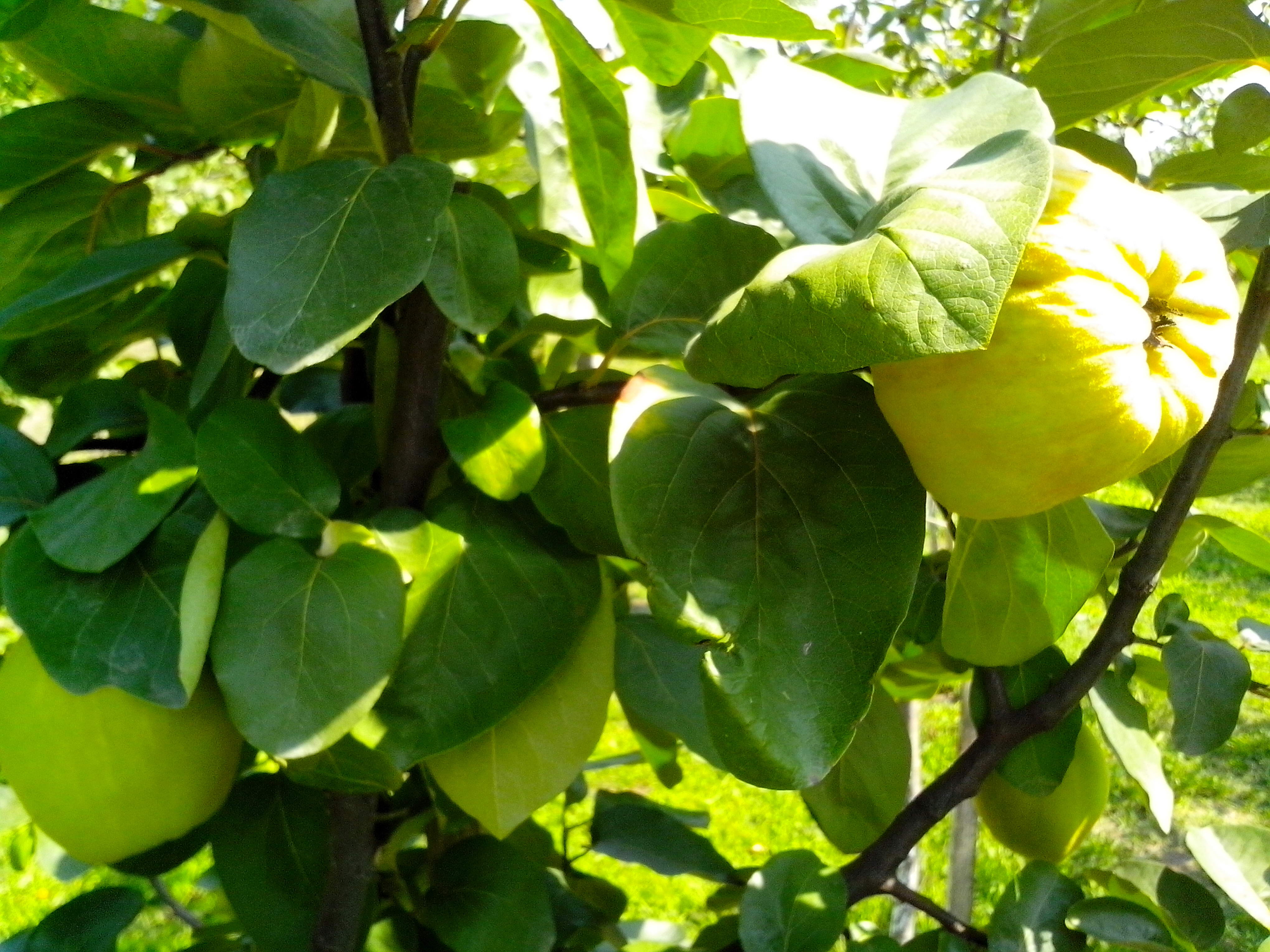 Free photograph; unripe, fruit, quince, branch