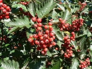 red, tree, berries