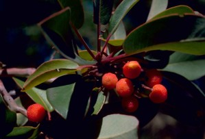 texas, madrone, marina, strawberry, tree, plant, fruits, arbutus, xalapensis