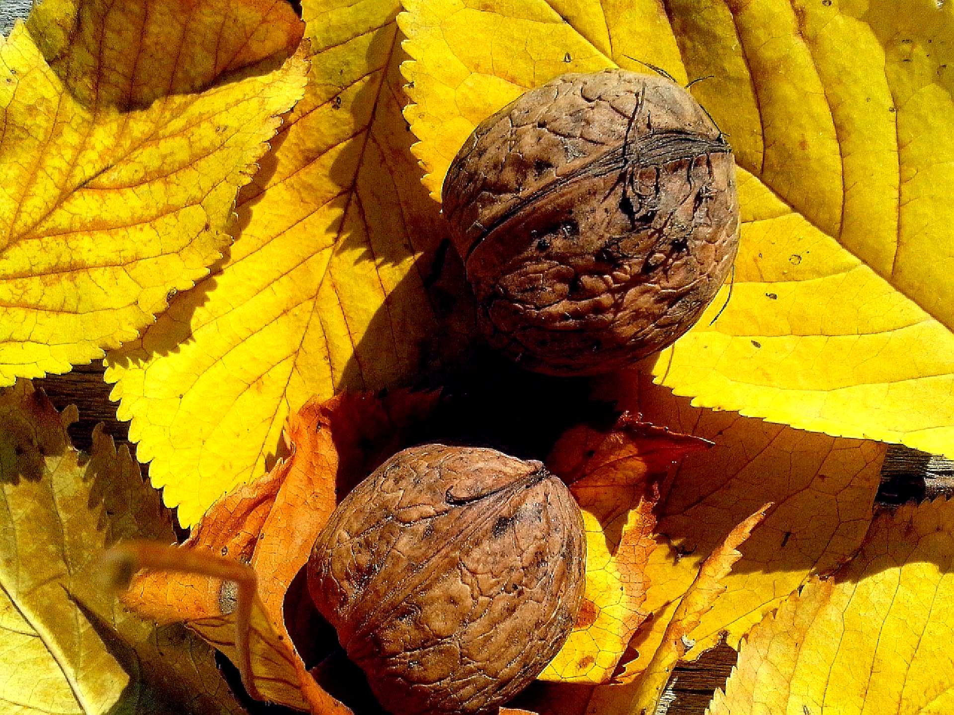 Free photograph; walnut, fruit, leaves