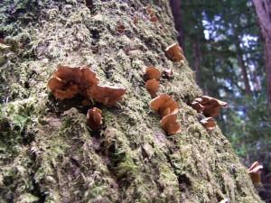 champignons, séquoia, écorce