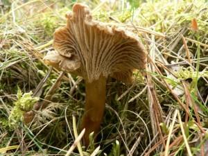 nálevka, houby lišky