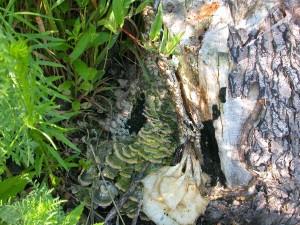 vert, étagère, champignons, croissant, mort, arbre, tronc