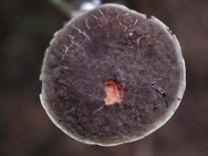 puinen, sieni