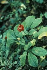 ginseng, américain, plante, Panex, quinquefolius