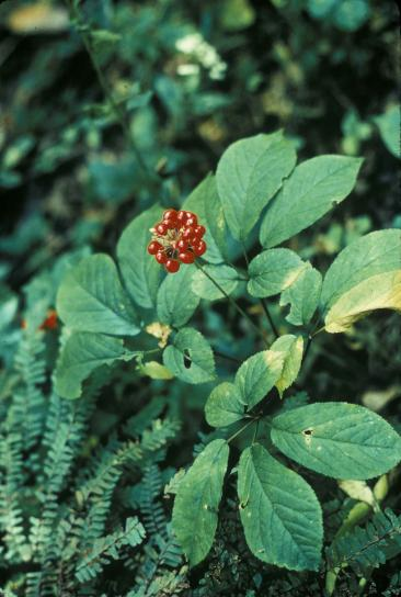 Ginseng american plant panex quinquefolius