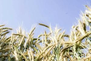 céréales, plantes, les détails, l'image
