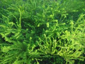hakea, plant