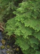 pruche, branches, vert, plante