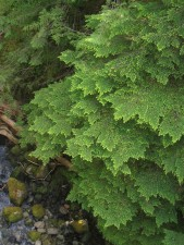 hemlock, boughs, green, plant