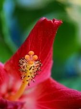 Hibiscus, blcony