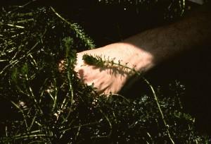hydrilla, verticillata, aquatic, invasive, plant