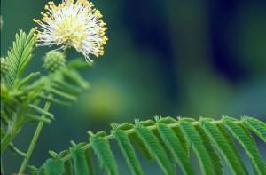 illinois, bundleflower, plant, desmanthus, illinoensis