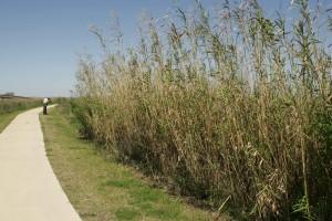 invasive, phragmities, plant