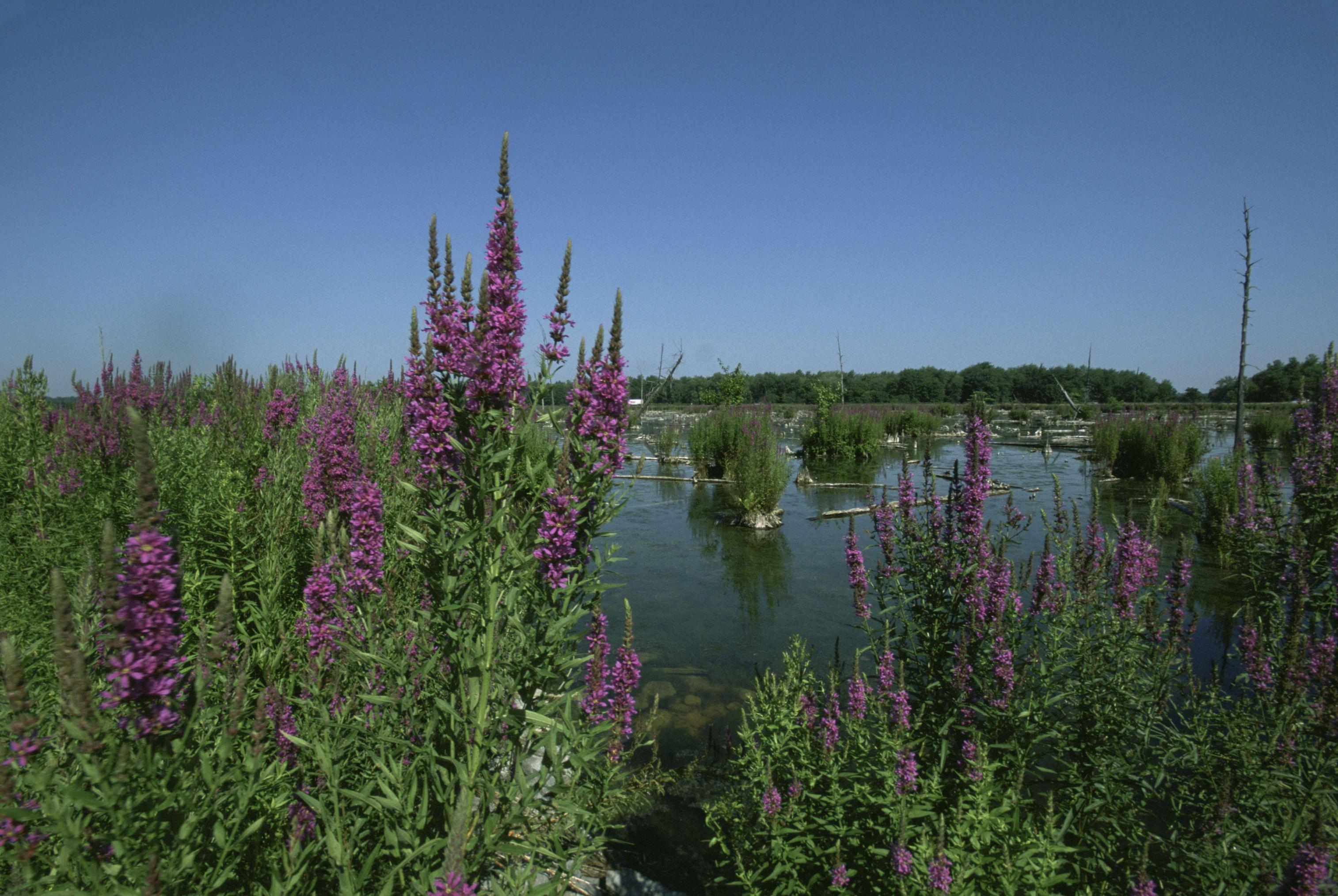 an essay on the invasive qualities of purple loose strife Invasive nonnative plants and animals  nonnative species including plants (hydrilla, purple loose-strife, eurasian water-milfoil) and animals (rapa whelks.