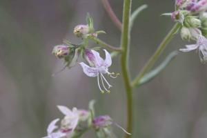 ipomopsis, polyantha, herbaceous, biennial