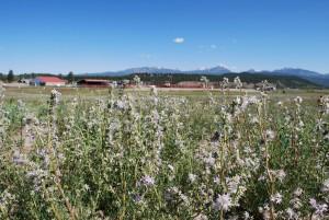 ipomopsis, polyantha, pagosa, skyrocket, plants, field