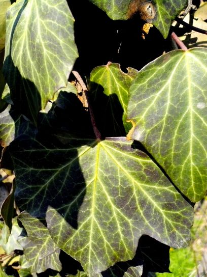 ivy, creeper, plant, green, leaves