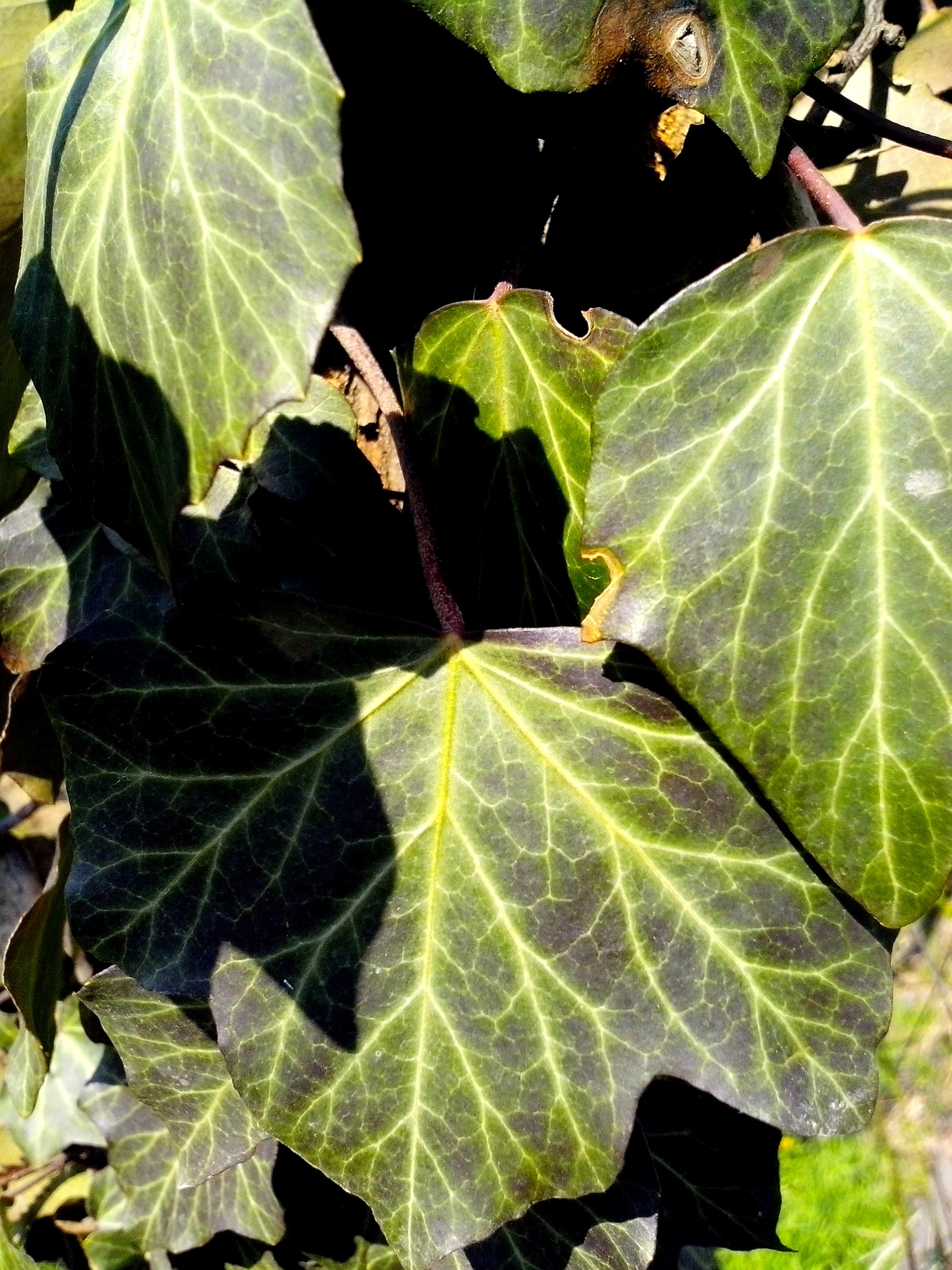 Free photograph; ivy, creeper, plant, green, leaves
