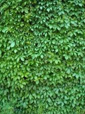 ivy, plant