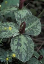 grand, feuilles vertes, marron, fleur, pétales, crapaud ombre, sessiles trille